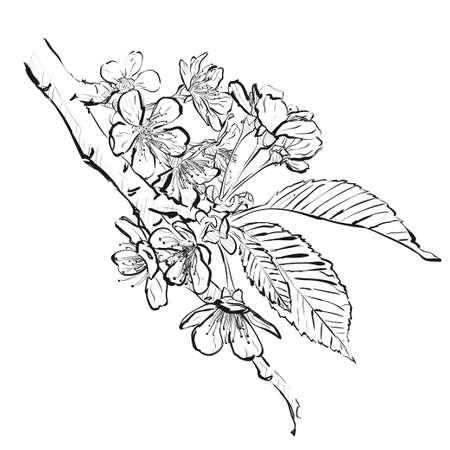 Cherry flowers sketch. Illustration flowers of the cherry blossom. Sakura branch
