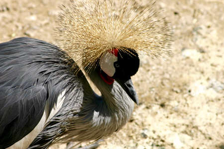 crowned crane: crowned crane Stock Photo