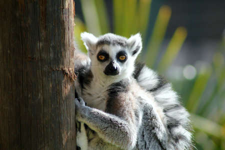magnetic: lemur with magnetic eyes Stock Photo
