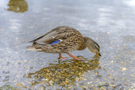 color image mallard duck: Beautiful Duck in a Pond eating