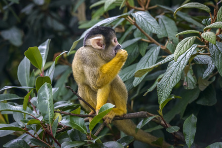 omnivores: Cute Squirrel monkey (Saimiri) standing on a tree branch