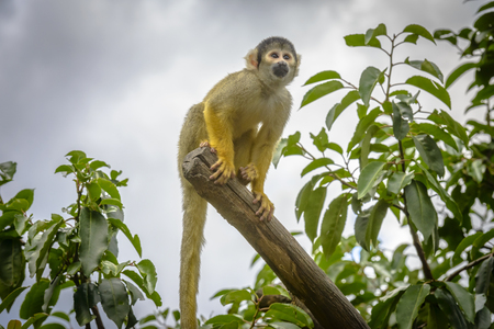Cute Squirrel monkey (Saimiri) standing on a tree branch photo