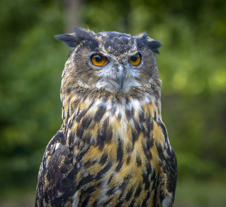 Eagle Owl close up portrait against a blurred green