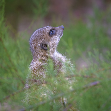 Close up of a meerkat looking up photo