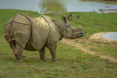 Grey Rhinoceros without Hornes with birds in the background photo