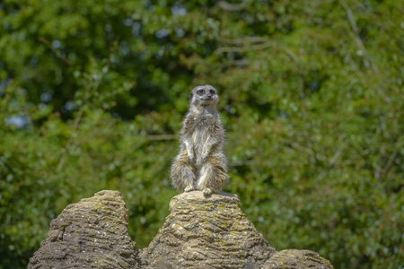Meerkat portrait standing on a rock and looking up photo