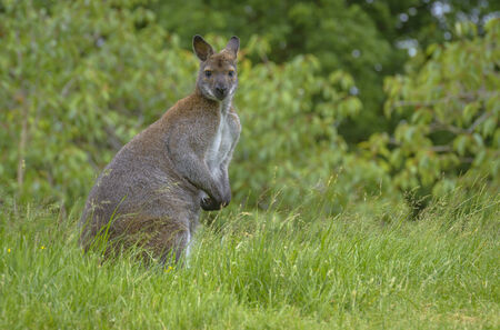 dazzled: Portrait of a Kangaroo Staring at the Camera Stock Photo