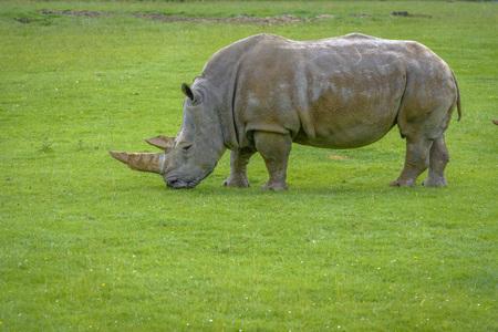 Two-horned Rhinoceros grazes on the field