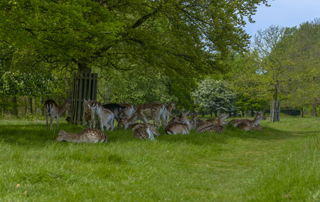 Deer in Richmond Park, London, England