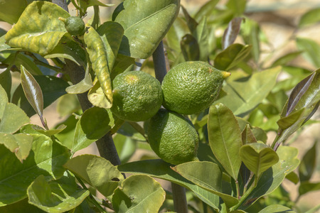 Green Limes ready to be harvested.