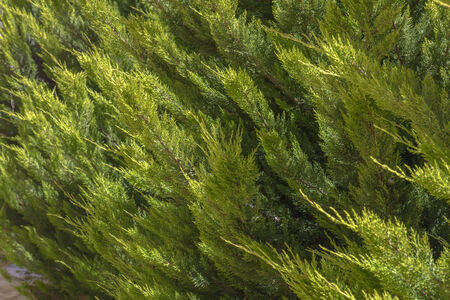 Pine tree Leaves in a sunny day Stockfoto