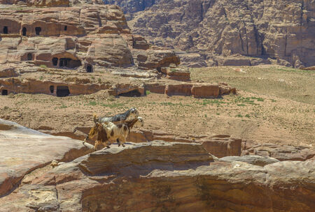 Goats in Petra, Jordan standing at a cliff.