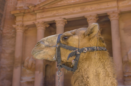 Camel in Petra with Treasury in the background. Stockfoto
