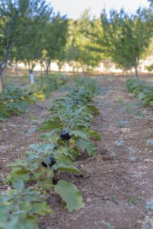 Aubergine in het veld klaar om te worden geoogst met onscherpe achtergrond. Stockfoto - 35077136