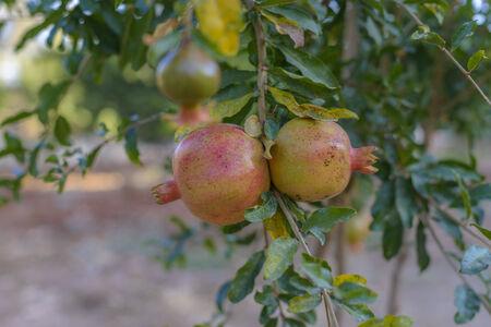 Granaatappel boom met rijp fruit klaar voor de oogst Stockfoto - 35077142