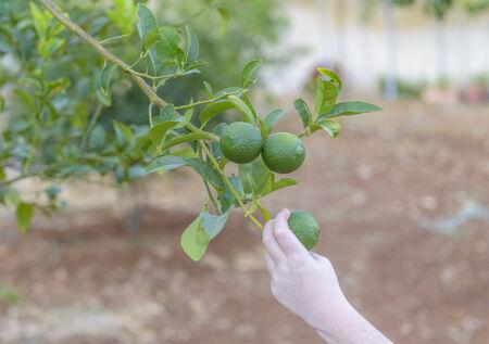 Groene citroen boom met rijp fruit klaar voor de oogst Stockfoto - 35077182