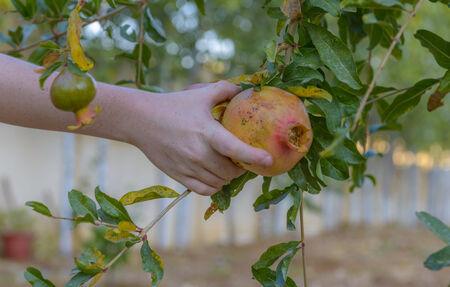 Granaatappel boom met rijp fruit klaar voor de oogst Stockfoto - 35077222