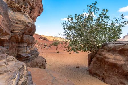 Boom coming out of Rock in Wadi Rum woestijn, Jordanië Stockfoto - 35597281