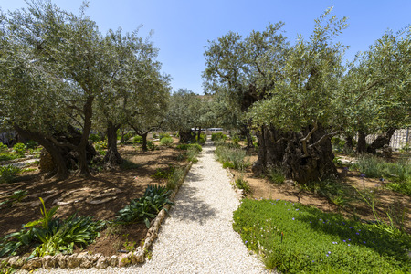 Old olive trees in the garden of Gethsemane on the mount of olives in Jerusalem. The garden of Gethsemane is next to the church of all nations