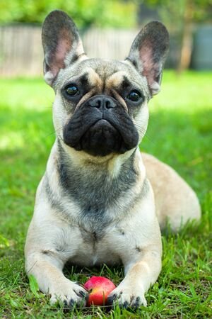 Close up portrait of a French Bulldog Imagens