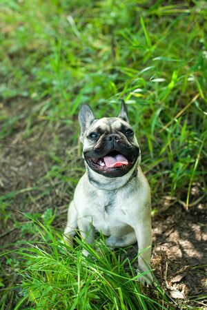 Close up portrait of a French Bulldog Imagens - 133378310