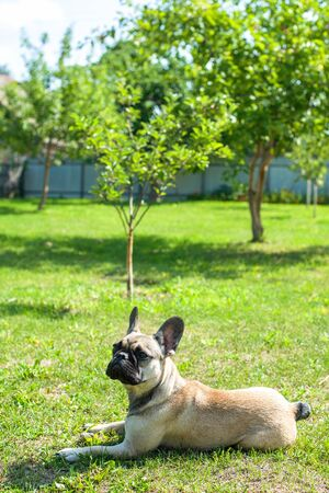Dog breed French Bulldog on the green grass Imagens - 133378336