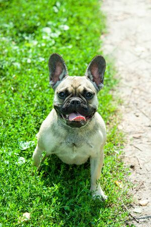 Close up portrait of a French Bulldog Imagens - 133378339