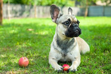Close up portrait of a French Bulldog Imagens - 133378340
