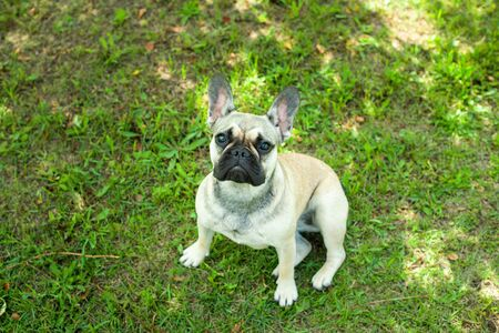 Close up portrait of a French Bulldog Imagens - 133378341