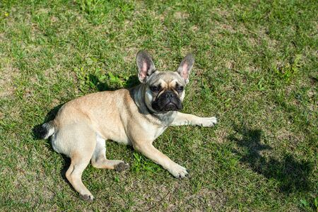 Dog breed French Bulldog on the green grass Imagens - 133378344