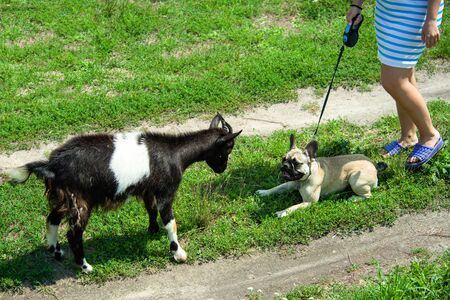 dog breed French Bulldog playing with a goat Imagens - 133378367