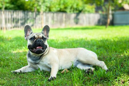 French bulldog in the garden Imagens