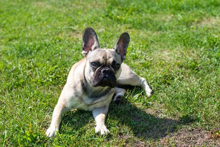 Dog breed French Bulldog on the green grass