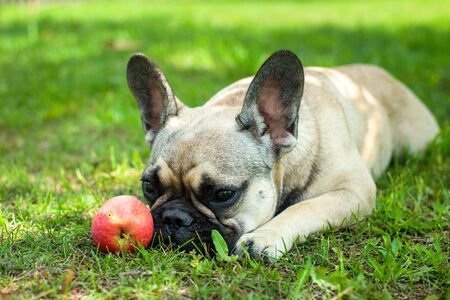 Close up portrait of a French Bulldog Imagens - 133378400