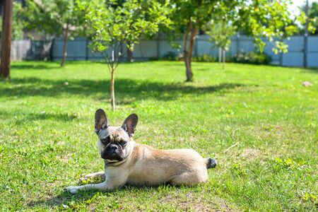 Dog breed French Bulldog on the green grass Imagens - 133378409