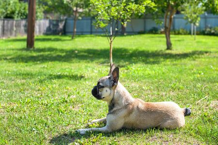 Dog breed French Bulldog on the green grass Imagens - 133378404