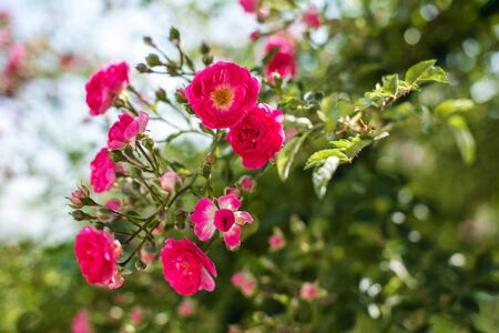 The blooming bushes of roses in the garden. Background of rose bushes Imagens - 147853044