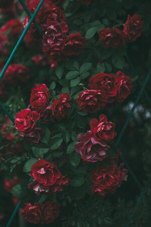 Roses dramatic toning. Background of rose bushes