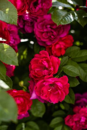 The blooming bushes of roses in the garden. Background of rose bushes Imagens - 146801938