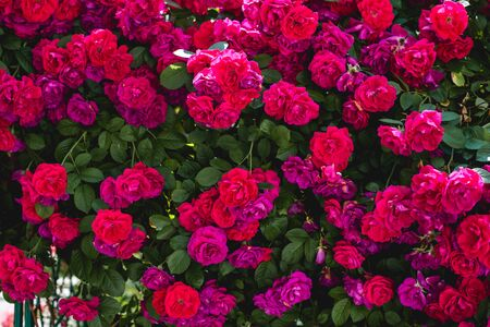 The blooming bushes of roses in the garden. Background of rose bushes