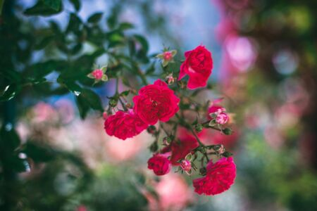The blooming bushes of roses in the garden. Background of rose bushes Imagens - 146802109