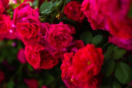 The blooming bushes of roses in the garden. Background of rose bushes Imagens - 146822733