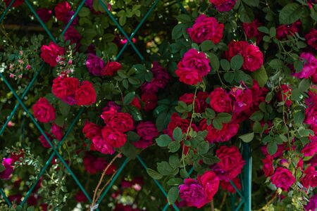 The blooming bushes of roses in the garden. Background of rose bushes Imagens - 146822704