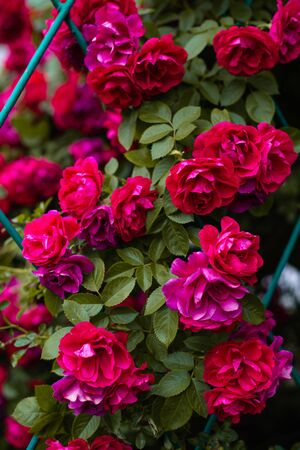 The blooming bushes of roses in the garden. Background of rose bushes Imagens - 146822703