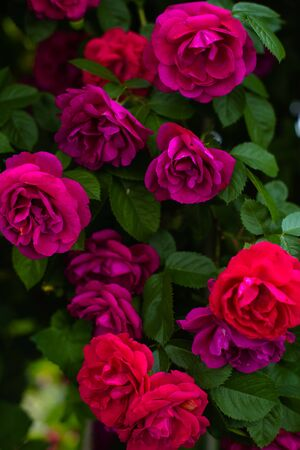 The blooming bushes of roses in the garden. Background of rose bushes Imagens - 147853418