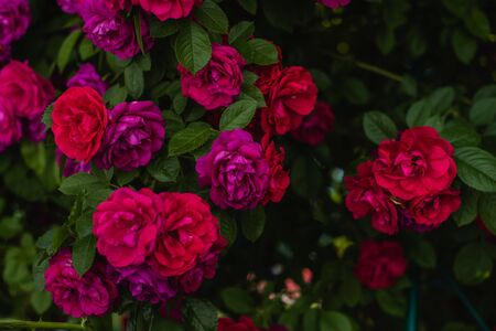 The blooming bushes of roses in the garden. Background of rose bushes Imagens - 146823992