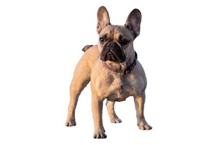 french bulldog fawn color on a white background Imagens - 147853419