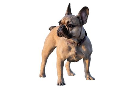 french bulldog fawn color on a white background Imagens