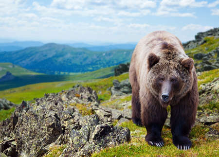 Brown bear in mountains area  Stock Photo