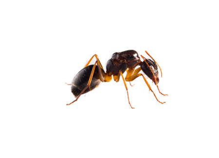 Collection of 9 brown forest ants on white background in different positions. Stock Photo